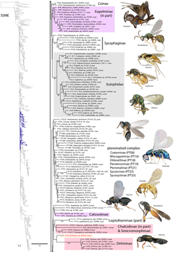 Part of Chalcidoidea phylogeny